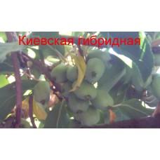 Актинидия Киевская гибридная (1 годичные)