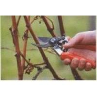 Обрезка и укрытие виноградной лозы