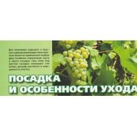Посадка и особенности ухода винограда